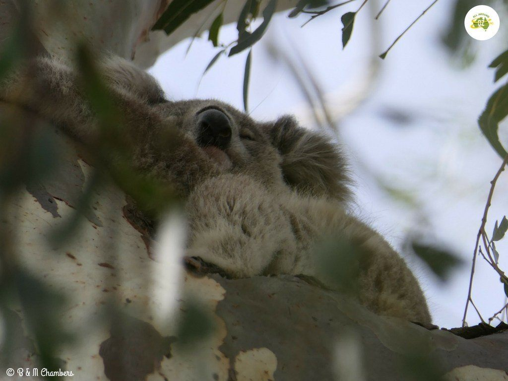A sleepy Koala nestled in a gum tree at the town on Quirindi